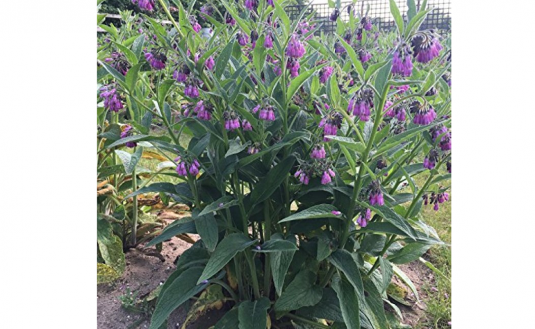 Planting your first comfrey patch…