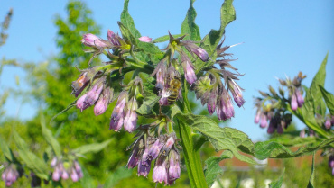 Comfrey – Why Every Garden Should Have Some.