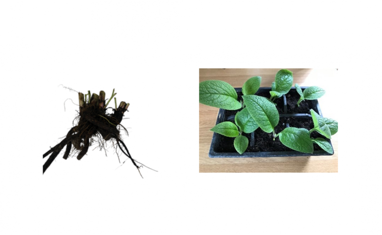 How to Go About Propagating Root Cuttings